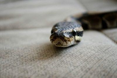 Mystery Smell, Snake Head
